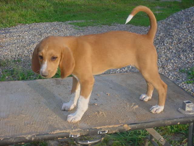 Trigg Hound Puppies: Trigg July Hound Breed