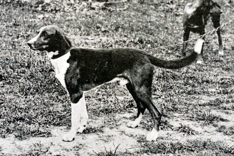 Trigg Hound Dog: Trigg Old Trigg Hound Dog Breed