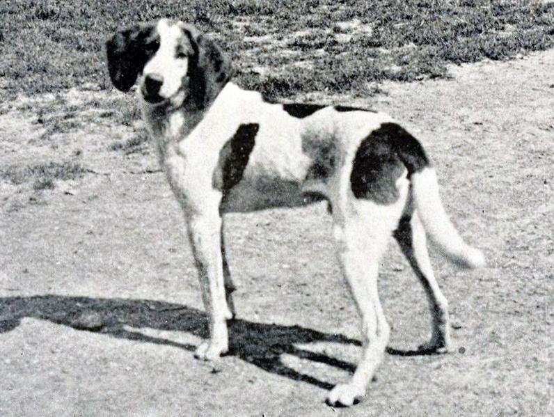 Trigg Hound Dog: Trigg Retro Trigg Hound Dog Breed
