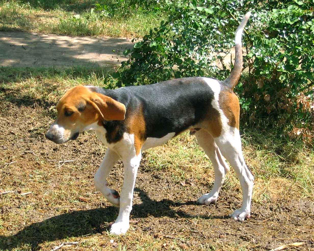 Trigg Hound Puppies: Trigg Treeing Walker Coonhound Dog Breed