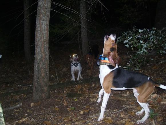 Trigg Hound Dog: Trigg Trigg Hound Breed