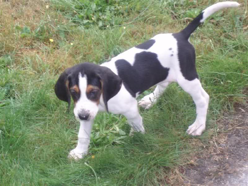 Trigg Hound Dog: Trigg Trigghound Breed