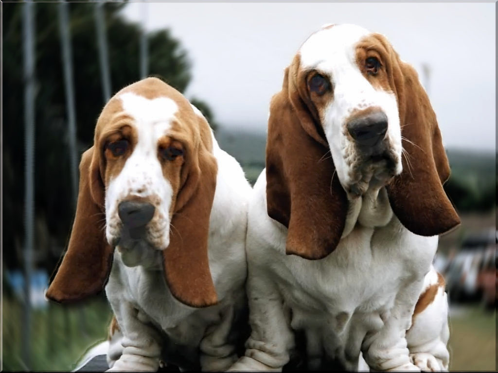 Trigg Hound Puppies: Trigg Two Basset Hound Dogs Breed