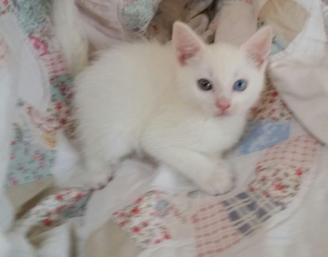 Turkish Angora Kitten: Turkish Beautiful Turkish Angora Male Kitten Manchester Breed