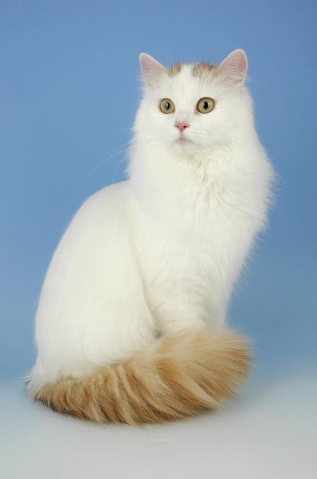 Turkish Van Cat: Turkish Breed