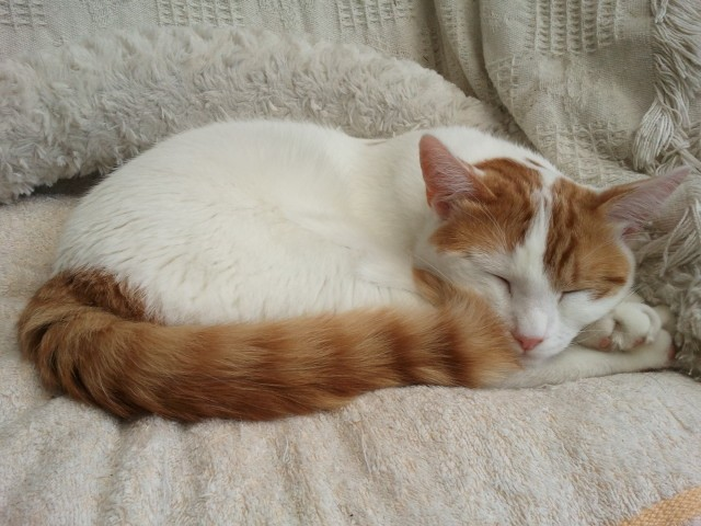 Turkish Van Kitten: Turkish Httpss Breed