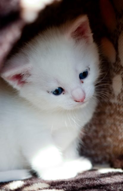 Turkish Angora Kitten: Turkish Kittenpictureofturkishangoracat Breed
