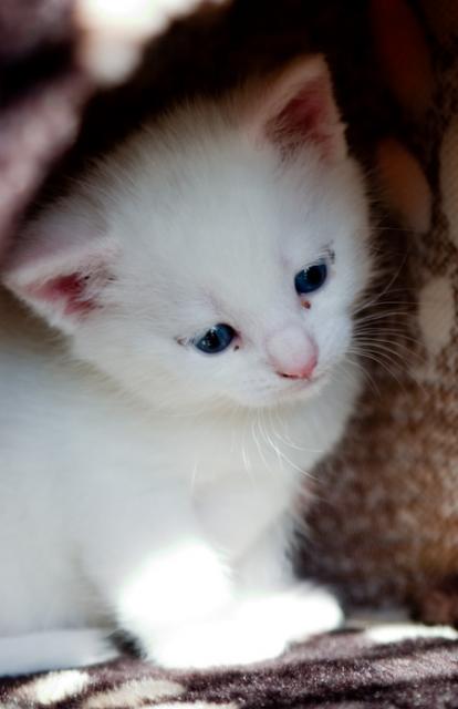 Turkish Angora Kitten: Turkish Kittenpictureofturkishangoracat Breed