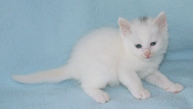 Turkish Angora Kitten: Turkish Kittenyildiz Breed