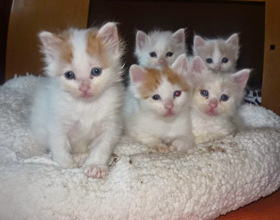 Turkish Van Kitten: Turkish Most Cute Turkish Van Kitten Pictures Breed