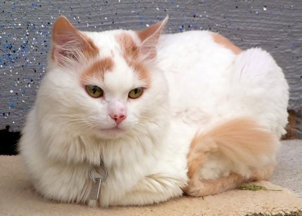 Turkish Van Cat: Turkish S Breed