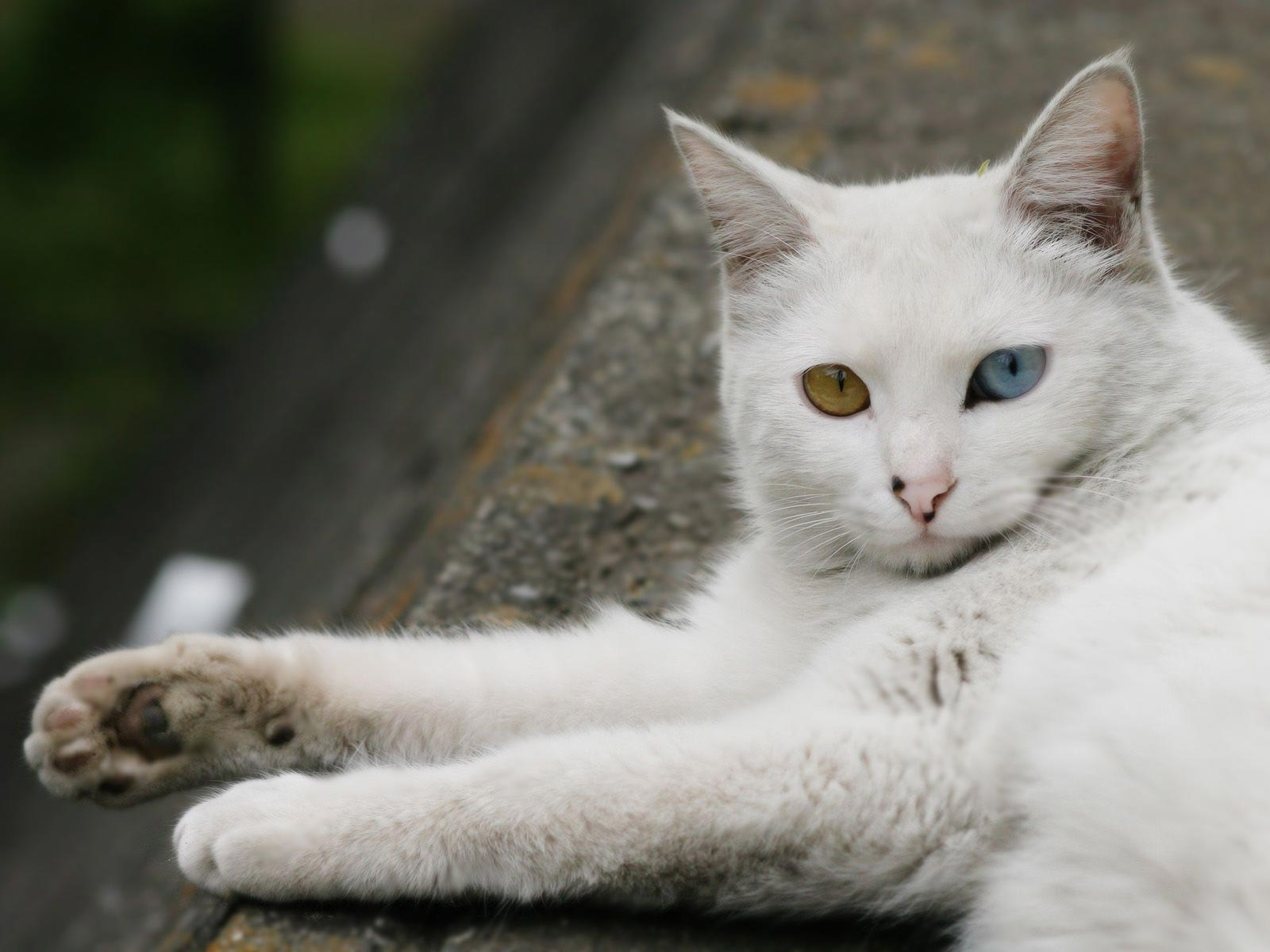 Turkish Angora Cat: Turkish Tgkl Turkish Angora Breed