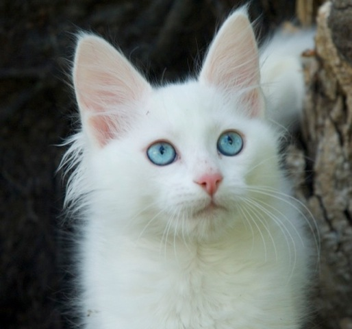 Turkish Angora Kitten: Turkish Turkish Angora Breeders Australia