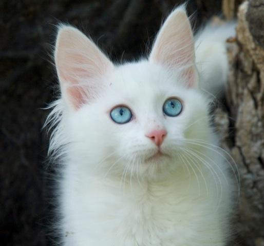 Turkish Angora Kitten: Turkish Turkish Angora Breeders Australia