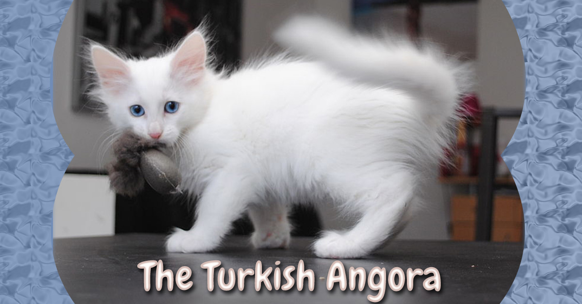 Turkish Angora Cat: Turkish Turkish Angora Cat Breed Month