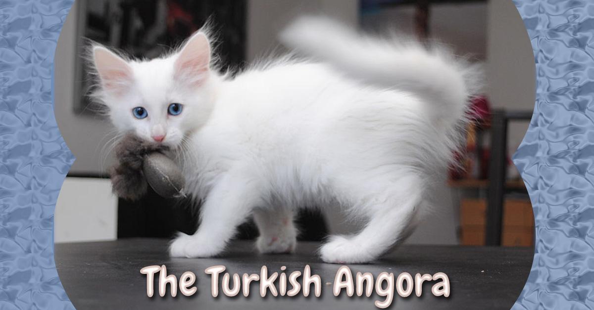 Turkish Angora Cat: Turkish Turkish Angora Cat Breed Month