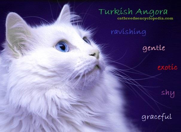 Turkish Angora Cat: Turkish Turkish Angora Cat Breed