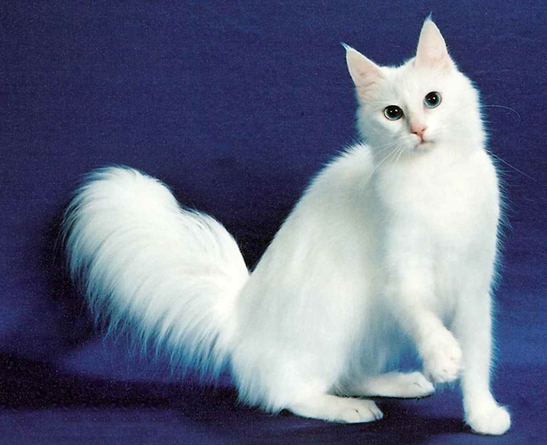 Turkish Angora Cat: Turkish Turkish Angora Cats Breed