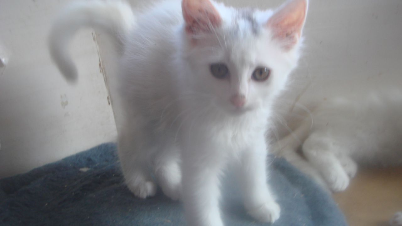 Turkish Van Kitten: Turkish Turkish Angora X Turkish Van Kitten Kingsbridge Breed