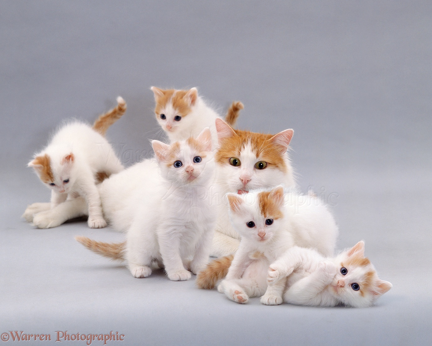 Turkish Van Kitten: Turkish Turkish Van Cat And Kittens Breed