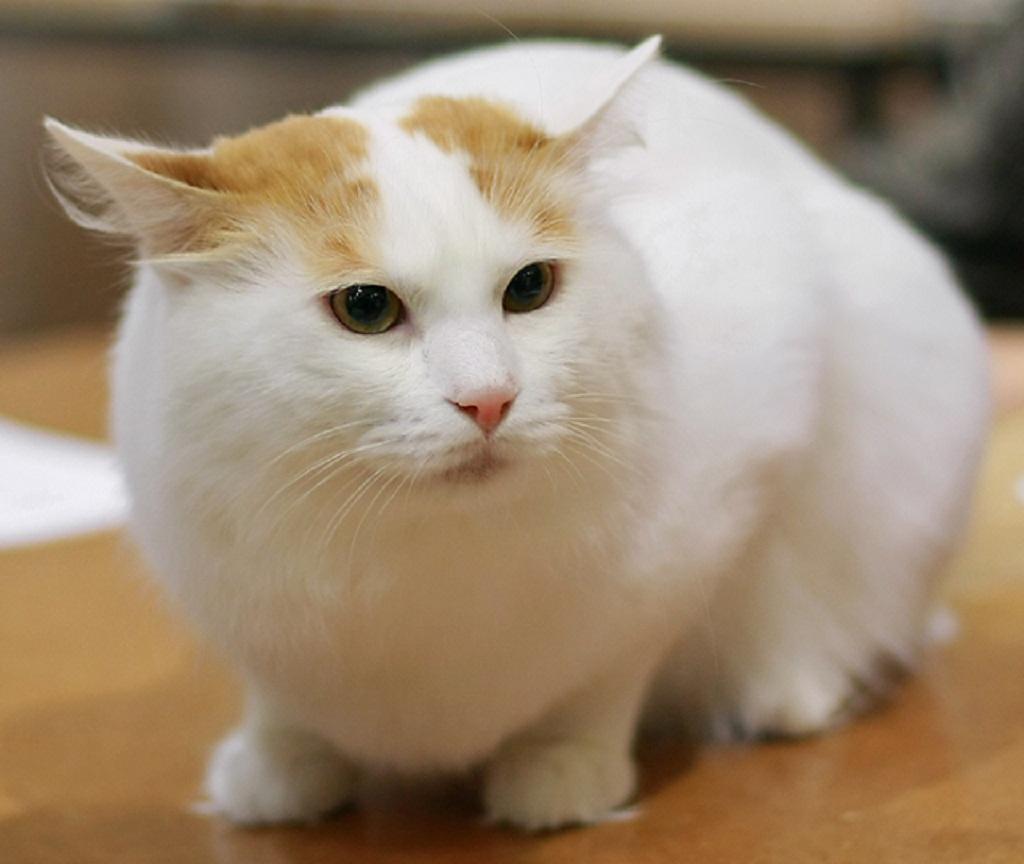 Turkish Van Cat: Turkish Turkish Van Cat Information Breed