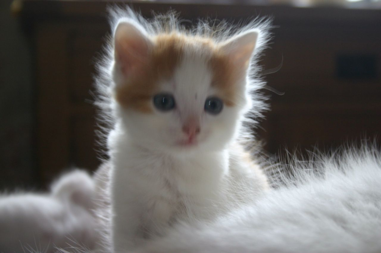Turkish Van Kitten: Turkish Turkish Van Kitten Breed