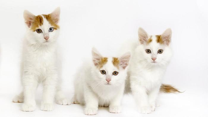 Turkish Van Kitten: Turkish Turkish Van Kittens Dbecf Breed