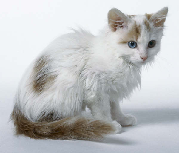 Turkish Van Kitten: Turkish Turkishvan Breed