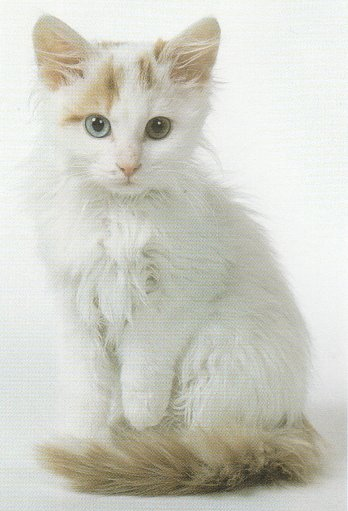 Turkish Van Kitten: Turkish Turkvan Breed
