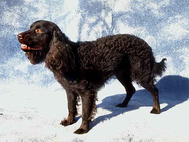 Tweed Water Spaniel Dog: Tweed American Water Spaniel Breed