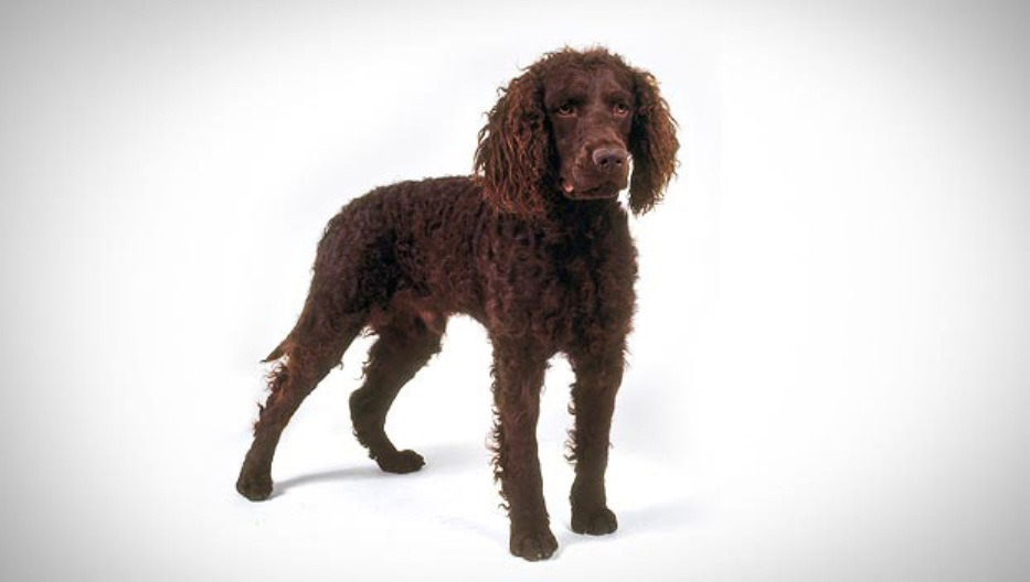 Tweed Water Spaniel Dog: Tweed Beautiful Tweed Water Spaniel Dog Breed