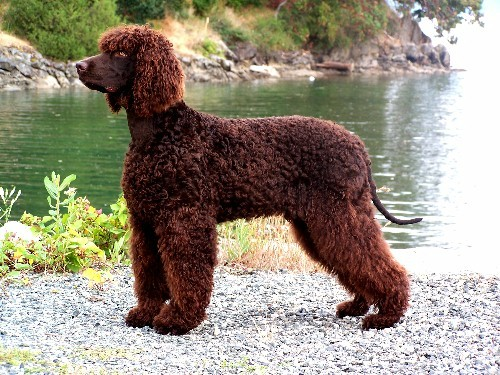 Tweed Water Spaniel Puppies: Tweed Irish Spaniel Breed