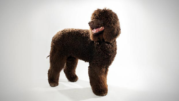 Tweed Water Spaniel Puppies: Tweed Irish Water Spaniel Breed