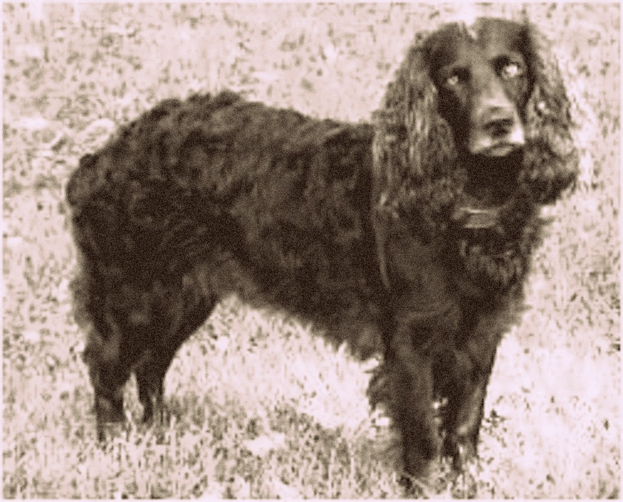 Tweed Water Spaniel Dog: Tweed Toy Trawler Spaniel Breed