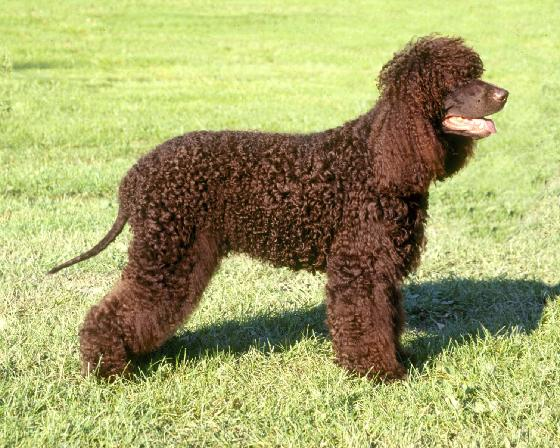 Tweed Water Spaniel Puppies: Tweed Tweed Water Spaniel Dog On Rack Breed