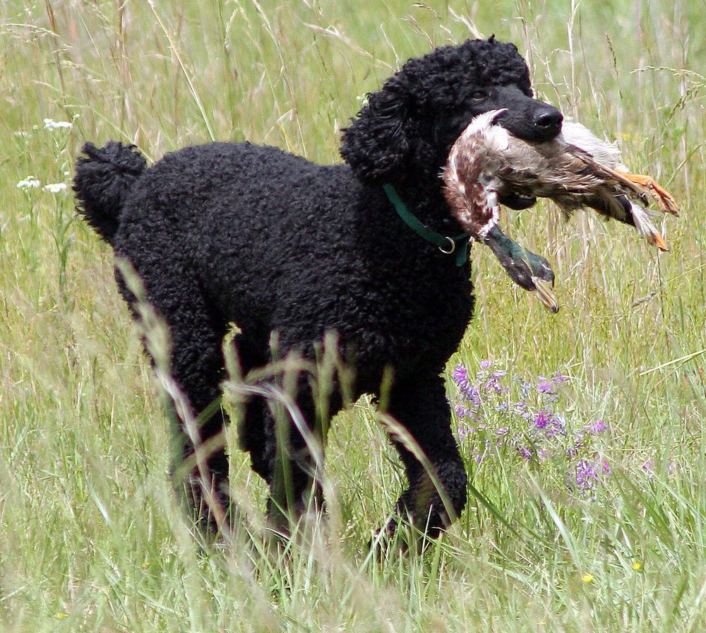 Tweed Water Spaniel Dog: Tweed Tweed Water Spaniel Hunting Breed