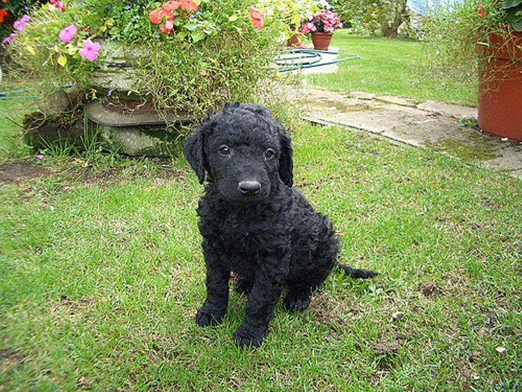 Tweed Water Spaniel Puppies: Tweed Tweed Water Spaniel Puppy Breed