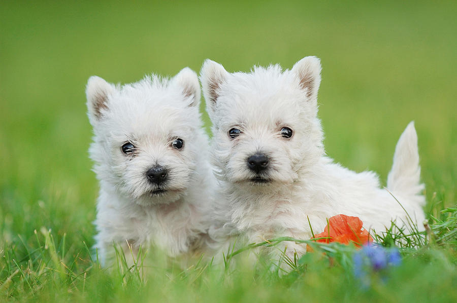 West Highland White Terrier Puppies: Two West Highland White Terrier Puppies Portrait Waldek Dabrowski Breed