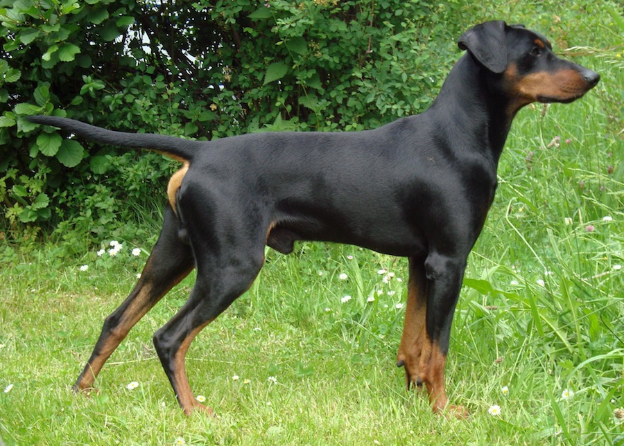 Tyrolean Hound Puppies: Tyrolean Greek Harehound Breed