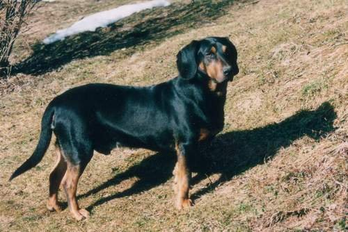 Tyrolean Hound Dog: Tyrolean Hounds Breed