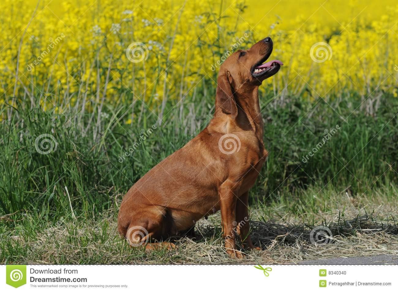 Tyrolean Hound Dog: Tyrolean Stock Tyrolean Hound Breed