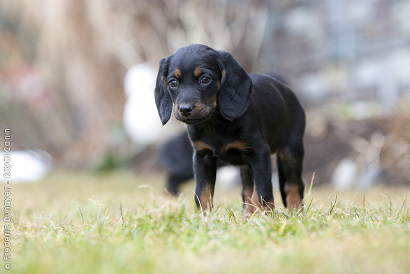 Tyrolean Hound Dog: Tyrolean Tiroler Tazisi Breed