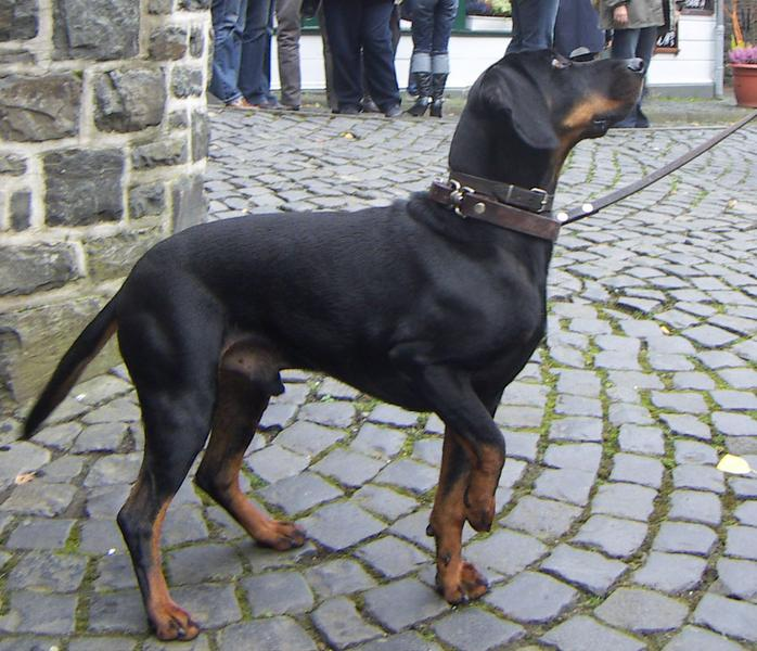 Tyrolean Hound Dog: Tyrolean Tyrolean Hound Dog Breed Pictures