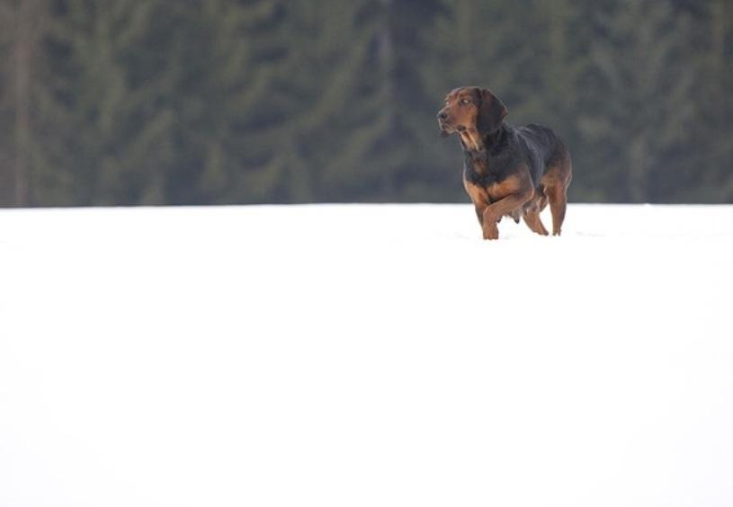 Tyrolean Hound Dog: Tyrolean Tyrolean Hound Winter Breed