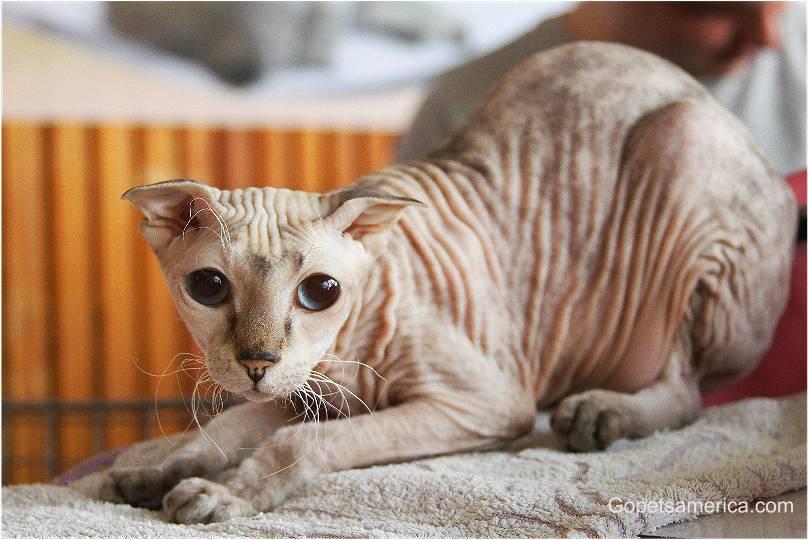 Ukrainian Levkoy Kitten: Ukrainian Cats Breed