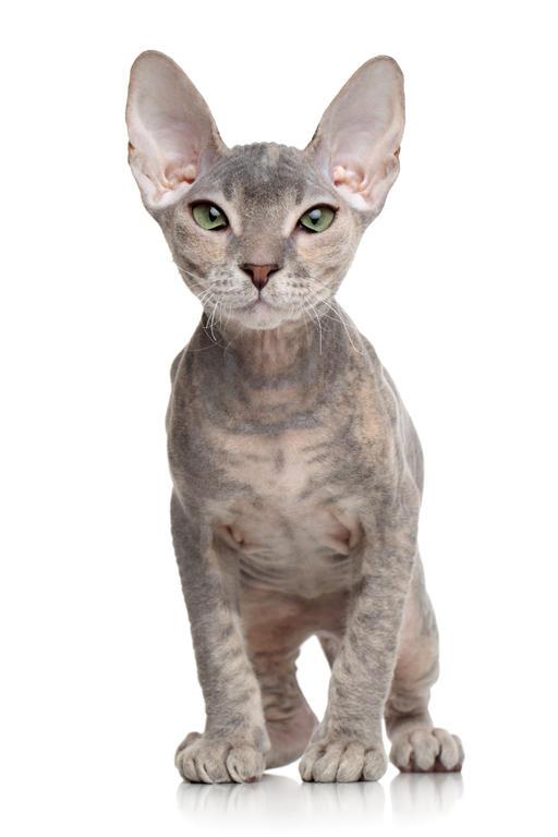 Ukrainian Levkoy Kitten: Ukrainian Donskoy Donsphynxcat Breed