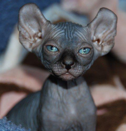 Ukrainian Levkoy Kitten: Ukrainian Strange Breeds Of Hairless Cats