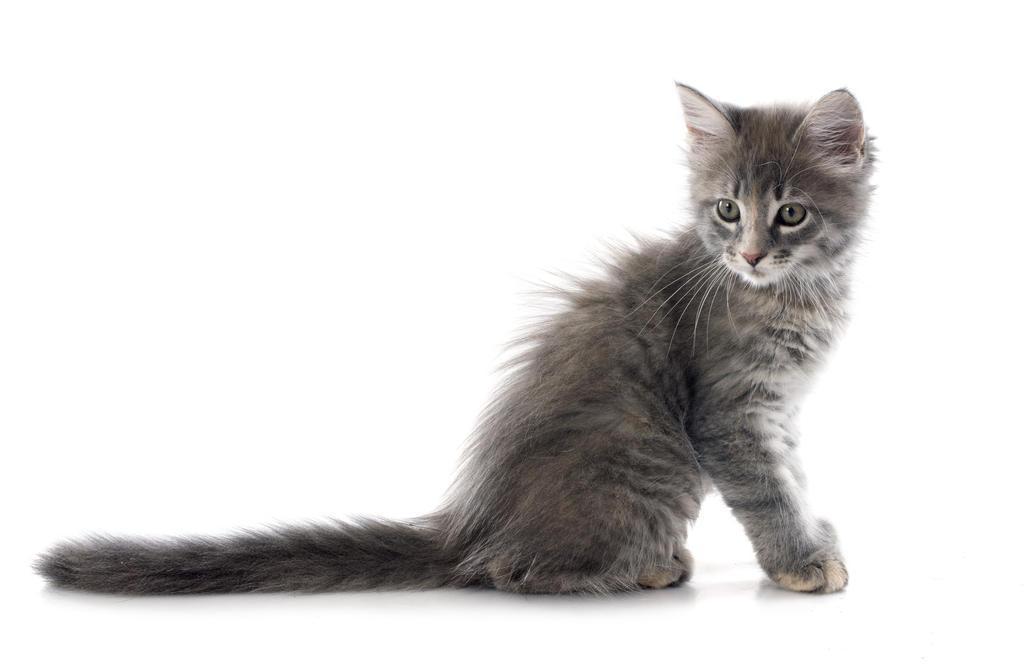 Ukrainian Levkoy Kitten: Ukrainian Turkishangora Breed