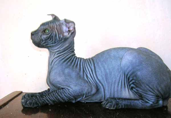 Ukrainian Levkoy Kitten: Ukrainian Ukrainian Levkoy Side View Breed