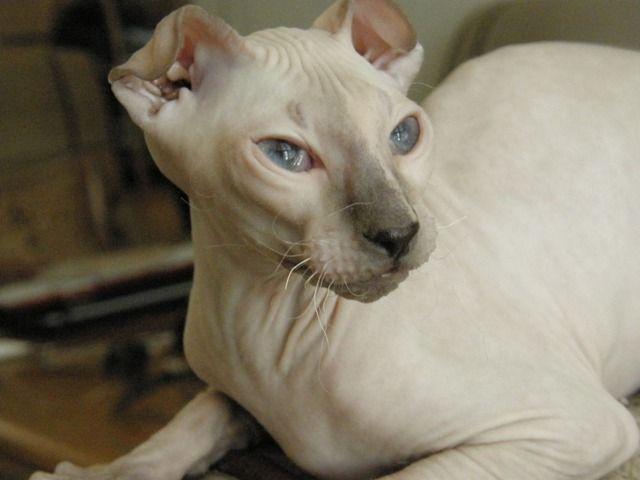 Ukrainian Levkoy Kitten: Ukrainian Unique Cat Breeds